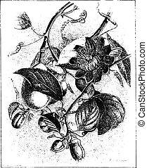 winged-stem, årgång, blomma, passion, alata, passiflora, eller, engraving.