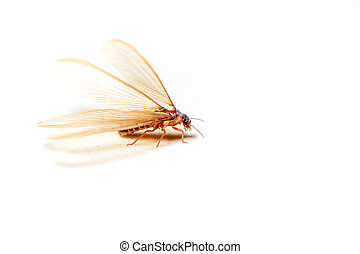 Winged Termites - winged termites come in the evening after...