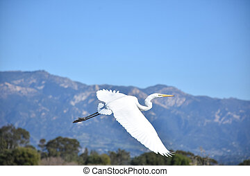 Wings Extended on a Great Egret in Flight