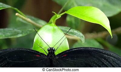 Wings wide open a butterfly is on a green leaf