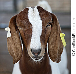 Prize-winning red and white Boer goat with ear tags winks at the camera during County Fair