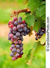 winogrona