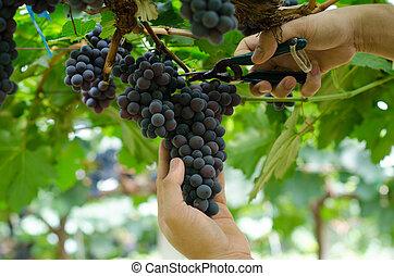 winogrono, żęcie