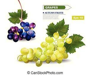 winorośl, jesień, realistyczny, wektor, winogrona, owoce, żniwa, template.
