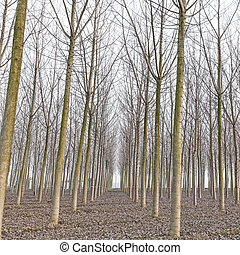 winter., イタリア, 木, ポプラ, 森林, emilia