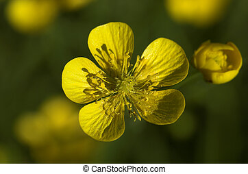 Winter Aconite - A macro image of the yellow winter aconite...