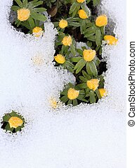Winter Aconite, lat. Eranthis hyemalis in snow - This ice...