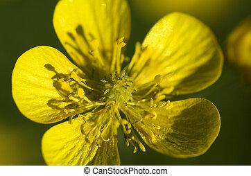 Winter Aconite - A macro image of the yellow winter aconite...