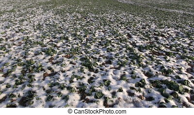 winter  agriculture field with snow