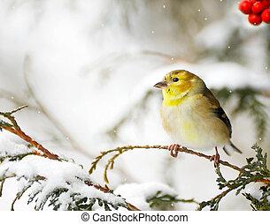winter., amerikaan, goldfinch