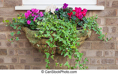 Winter and spring flowering hanging basket with trailing ivy cyc
