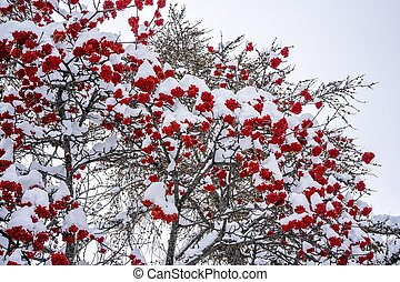 Winter ashberry tree under the snow. Groups of bright red berries, mountain ash.