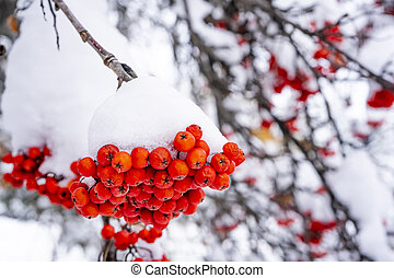 Winter ashberry under the snow close up. Groups of bright red berries, mountain ash.