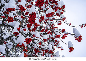 Winter ashberry under the snow. Groups of bright red berries, mountain ash.