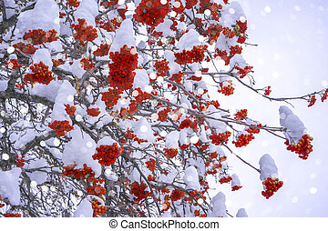 Winter ashberry under the snow. Groups of bright red berries, mountain ash. Snow light boken background