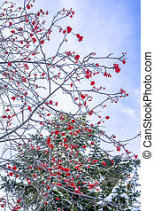 Winter ashberry under the snow in the forest. Groups of bright red berries, mountain ash.