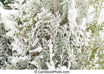 A coniferous tree in hoarfrost and snow