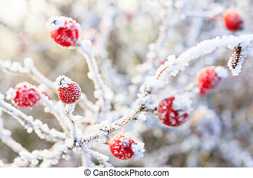 Winter background, red berries on the frozen branches...