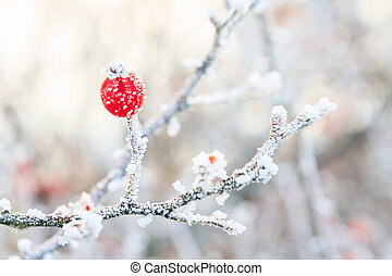 Winter background, red berries on the frozen branches ...