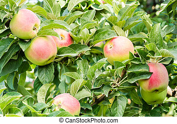 WInter Banana apples in the tree