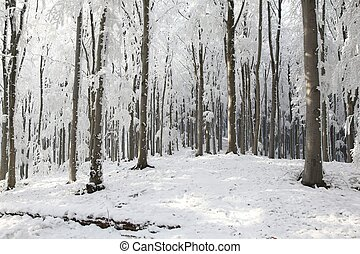 Winter beech forest on the mountain slope on a frosty sunny ...