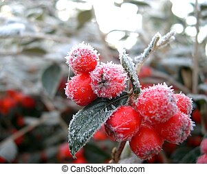 winter berry, 2003 year, WA USA.