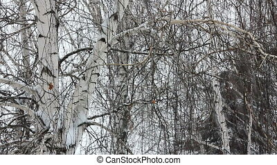 winter birch and snow