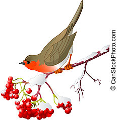 Winter bird - Cute Robin sitting on mountain ash branch. ...