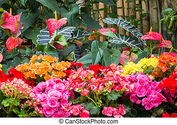 winter botanic garden - Flamingo flower and Begonia in...