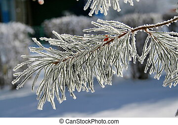 Branch of a snow-covered pine tree.