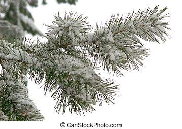 winter branch of pine