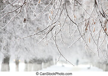 winter, branches in hoarfrost