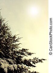 Winter branches of blue pine tree covered with fluffy snow