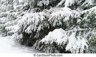 Winter Carpathian fir tree in the snow. - Winter Carpatians...