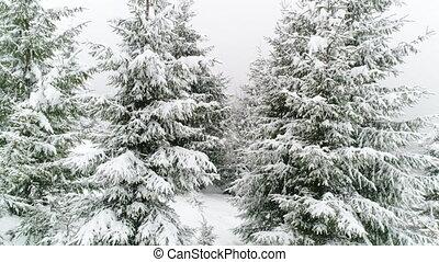Winter Carpathian fir tree in the snow. - Winter Carpatians ...