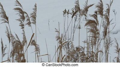 Winter cattail wind camera  motion