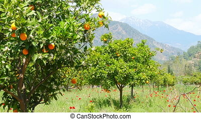 """Winter change, Spring coming, orange trees over snowy mountain background"""