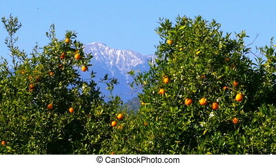 """""""Winter change, Spring coming, orange trees over snowy mountain background"""""""