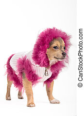 Winter Chihuahua