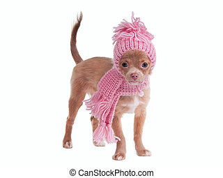 Winter Chihuahua puppy with hat and scarf