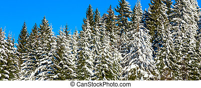 Winter Christmas holiday background with snowy pine trees and blue sky