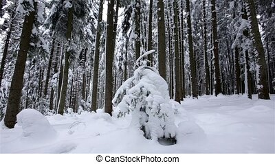 Winter coniferous forest . Dolly shot. Slow motion. Close up...