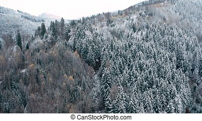 Aerial view of winter coniferous forest growing on mountain