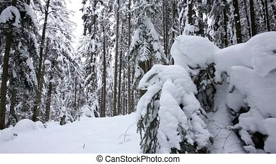 Winter coniferous forest photographed by copter. Dolly shot....