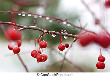 close up on the red fruit of a Crabapple Tree, with ice and water drops lacing it on an early winter day