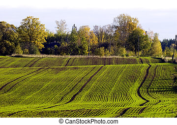 Winter crop field with fresh green seedling lines in autumn