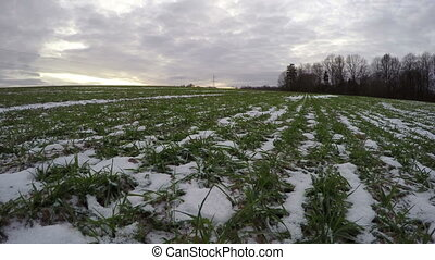 Winter crop wheat snowy field and evening clouds, time lapse 4K