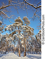 Winter day in a pine forest park.