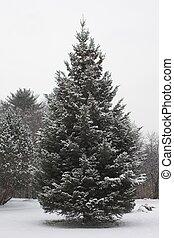 winter, dennenboom