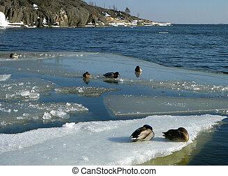 Ducks on an ice floe